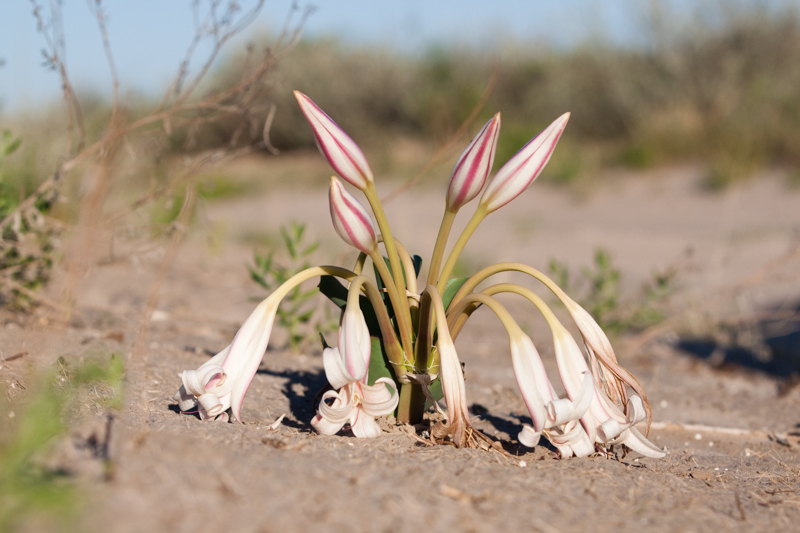 Stunning Kalahari Crinum lilies pop up everywhere shortly after good rains.