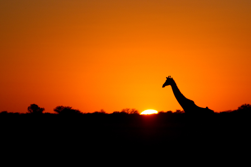 Although they're scarce, giraffes are seen in Khutse from time to time.
