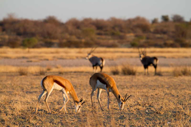 Springbok and gemsbok are plentiful in Khutse.