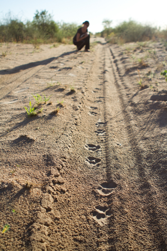 It's not uncommon to find fresh leopard tracks in the road on an early morning game drive.