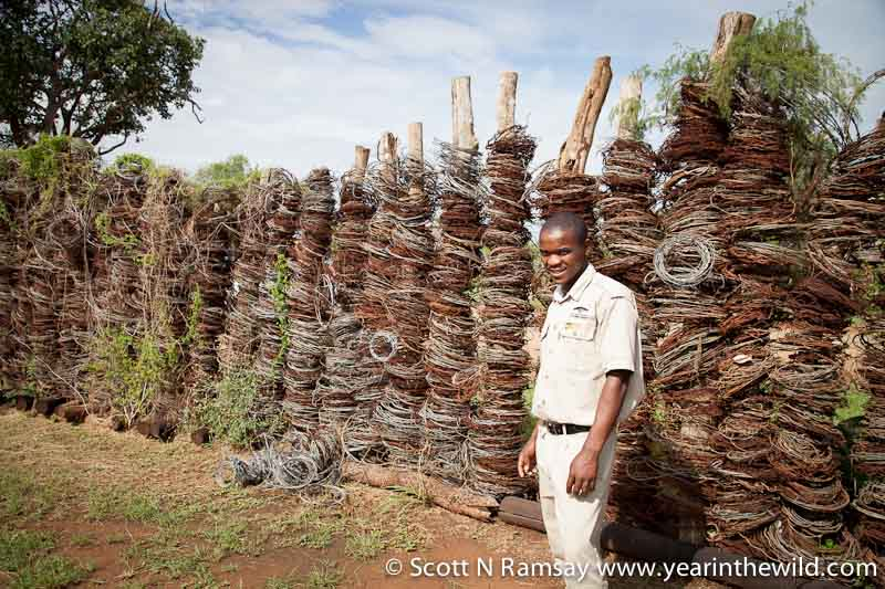 When Hlane Royal National Park was proclaimed, it was littered with several thousand snares. Here a ranger stands next to more than 20 000 snares at the entrance to Hlane. There are similar collections of snares at Mlilwane and Mkhaya. At one stage, there were many more snares in Swaziland's bush than there were actual wild antelope.