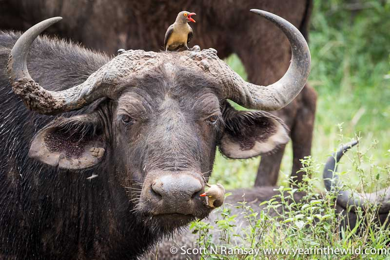 There are some seriously impressive Cape buffalo at Mkhaya Game Reserve, and they are also remarkably tolerant of humans – to a point. The red-billed oxpecker was clearly not getting his warning message across to this buffalo.