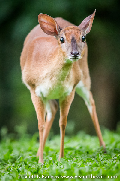 Mlilwane lies within the escarpment area of Swaziland, and it's a great place to see the rare Suni antelope. Several of this species can be easily seen in the undergrowth around the beautiful Reilly's Rock guesthouse.