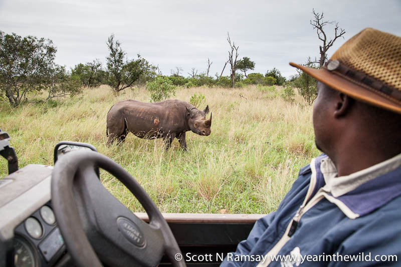 There are good numbers of black rhino too. Guide Bongani Mbatha and I found this black rhino bull, and we spent about twenty minutes admiring him. Unlike white rhinos, which are easy to approach on foot, black rhinos are more shy and generally more wary of humans.
