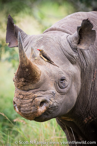The black rhino bull we saw was uncharacteristically relaxed, and allowed us to get quite close, even if the red billed oxpecker was shrieking its alarm call.