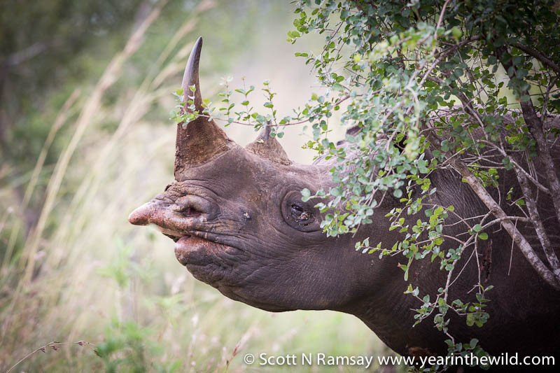 Note the hook-lip on the black rhino, an adaption for browsing off trees and bushes. The white rhino's lips are wider and more elongated, perfect for grazing grass.