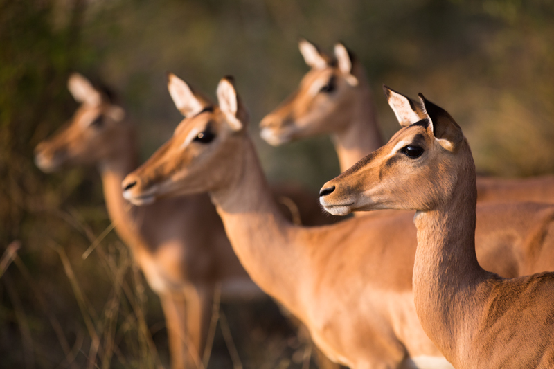 A group of impala ewes sense danger.
