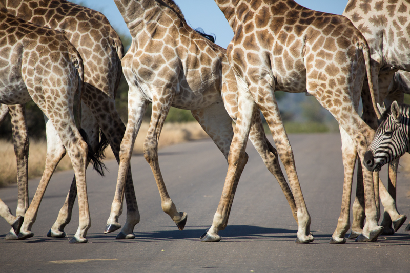 Traffic jam! A herd of giraffes cross a road north of Tshokwane picnic site.