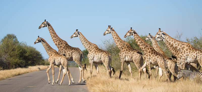 It's not often that you see so many giraffes so close together.