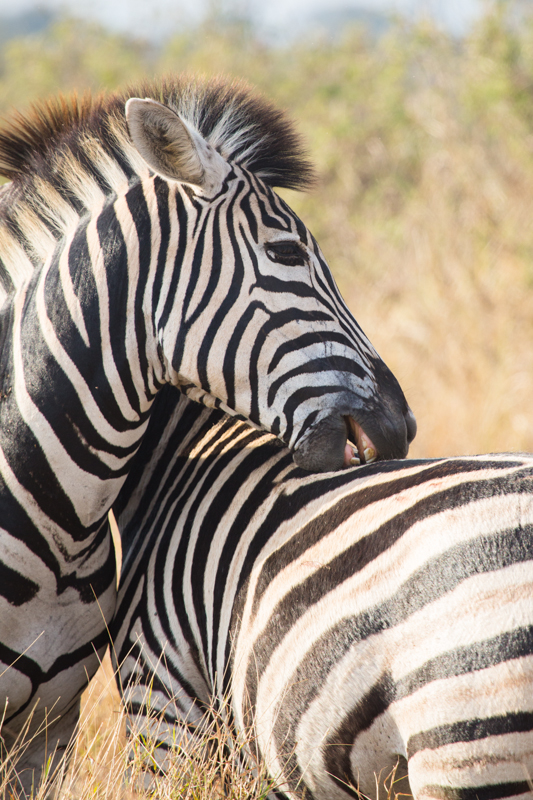 A zebra grooming one of its lucky family members.