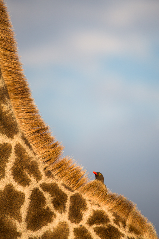 A red-billed oxpecker hides behind the mane of a colourful giraffe.