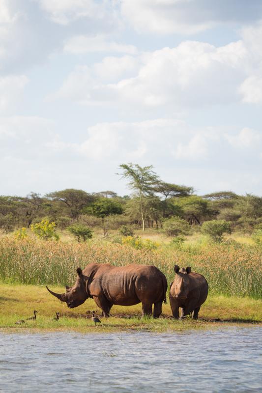 White rhinos are often seen on the shoreline.